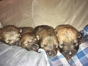 Eurasier Puppies now ready for new home FOR SALE ADOPTION