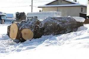 Maple Tree Log