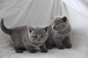 Pedigree Gccf Blue British Shorthair Kittens FOR SALE ADOPTION
