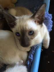 Pedigree Siamese Kittens For Adoption FOR SALE ADOPTION