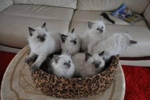 Pure Ragdoll Kittens FOR SALE ADOPTION