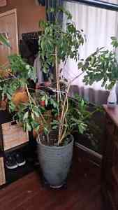 7 foot tall House plants