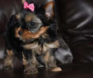 Awesome Yorkshire Terrier puppies for sweet home FOR SALE ADOPTION