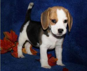 Beagle puppies for nice home FOR SALE ADOPTION