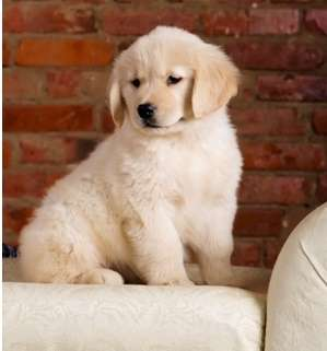 Beautiful Golden Retriever puppies for good home FOR SALE ADOPTION