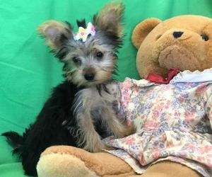 Beautiful Yorkshire Terrier puppies for sweet home FOR SALE ADOPTION