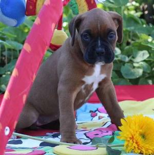 Boxer puppies for new home FOR SALE ADOPTION