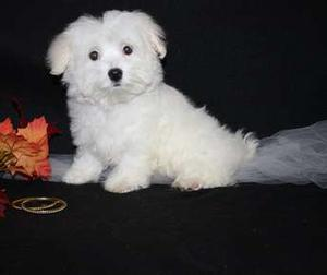 Cute Maltese Puppies for cute home FOR SALE ADOPTION