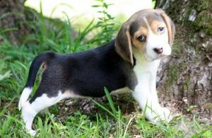 Fine Beagle puppies for nice home FOR SALE ADOPTION