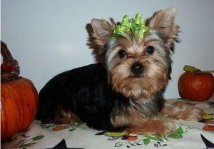 Friendly Yorkshire Terrier puppies for sweet home FOR SALE ADOPTION