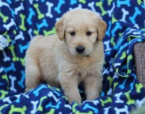 Golden Retriever puppies for good home FOR SALE ADOPTION