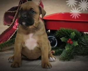 Gorgeous Boxer puppies for new home FOR SALE ADOPTION