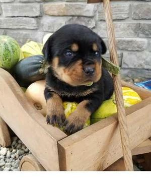 Gorgeous Rottweiler puppies for sweet home FOR SALE ADOPTION