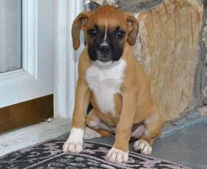 New Boxer puppies for new home FOR SALE ADOPTION
