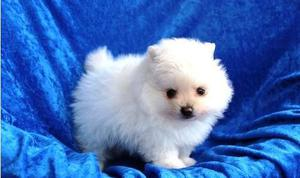 Nice looking Pomeranian puppies for new home FOR SALE ADOPTION