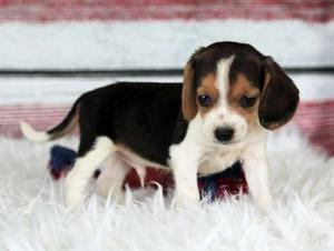 Pretty Beagle puppies for fine home FOR SALE ADOPTION