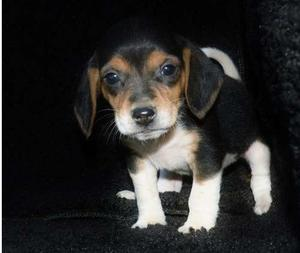 Show quality Beagle puppies for nice home FOR SALE ADOPTION