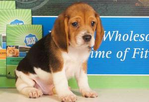 Tri colour Beagle puppies for nice home FOR SALE ADOPTION