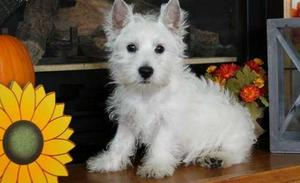 West Highland White Terrier Puppies for new home FOR SALE ADOPTION