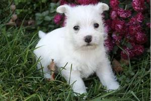 West Highland White Terrier Puppies for nice home FOR SALE ADOPTION
