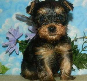 Yorkshire Terrier puppies for sweet home FOR SALE ADOPTION