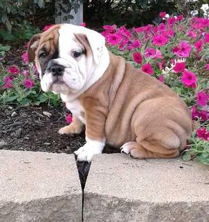 fine English Bulldog puppies for puppies for new home FOR SALE ADOPTION