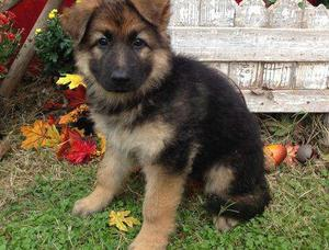 male and female German Shepherd puppies FOR SALE ADOPTION