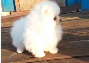new Pomeranian puppies for gorgeous home FOR SALE ADOPTION