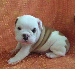 English Bulldog puppies for excellent home FOR SALE ADOPTION
