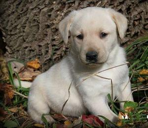 Fine Labrador Retriever puppies fr affectionate FOR SALE ADOPTION