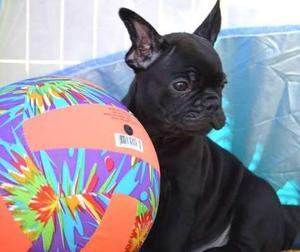 French Bulldog puppies for awesome home FOR SALE ADOPTION