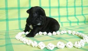 French Bulldog puppies for fine home FOR SALE ADOPTION