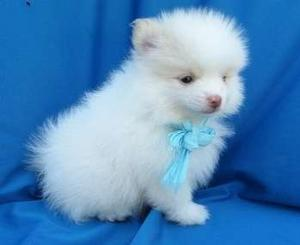 Friendly Pomeranian puppies for friendly FOR SALE ADOPTION