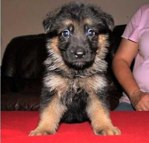 German Shepherd puppies for Marvelous home FOR SALE ADOPTION