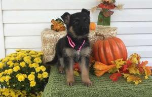German Shepherd puppies for good home FOR SALE ADOPTION