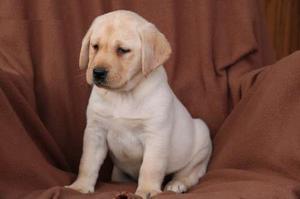 Good looking Labrador Retrievers for nice home FOR SALE ADOPTION