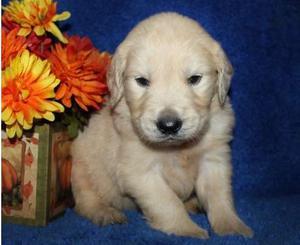 Gorgeous Bouncy Golden Retriever Puppies Excellent FOR SALE ADOPTION
