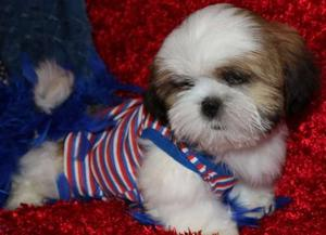 Lovely Shih Tzu puppies for cute home FOR SALE ADOPTION