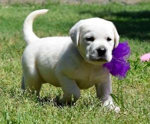 Marvelous Labrador Retriever puppies for nice home FOR SALE ADOPTION