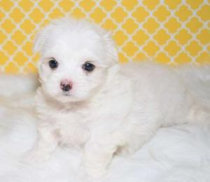 Pure breed Maltese Puppies for cute home FOR SALE ADOPTION