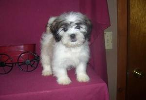 Shih Tzu puppies for gorgeous home FOR SALE ADOPTION