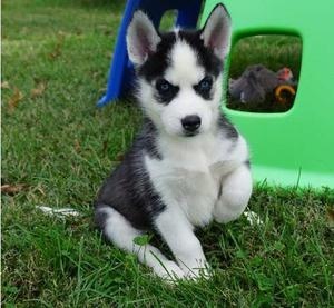 Siberian Husky puppies for cute Lovely home FOR SALE ADOPTION
