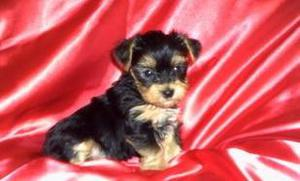 Yorkshire Terrier puppies for wonderful home FOR SALE ADOPTION