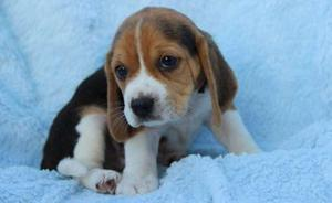 great Beagle puppies for kind home FOR SALE ADOPTION