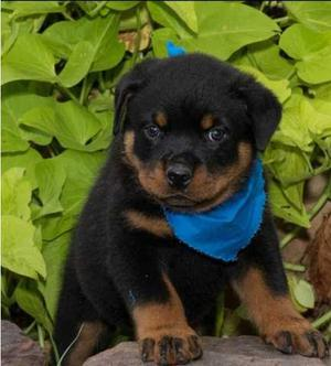 stunning Rottweiler puppies for sweet home FOR SALE ADOPTION
