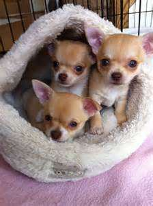 3 Beautiful Chihuahua Puppies FOR SALE ADOPTION