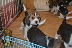 Beagle Puppies For adoption FOR SALE ADOPTION