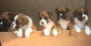 Boxer Pups ready for new home FOR SALE ADOPTION