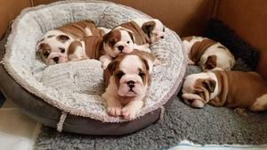 English Bulldog Puppies FOR SALE ADOPTION