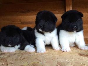 american Akita male and Female Puppies FOR SALE ADOPTION